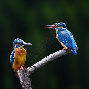 相思鸟图片