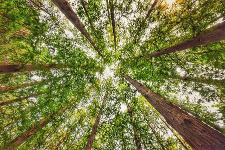 仰拍秋季泛黄的绿色桦树叶图片