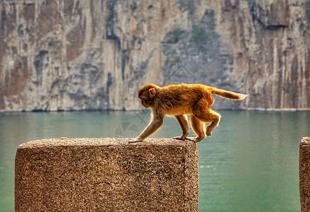 吃橙子的猴子图片