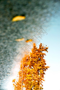 银杏树叶倒影图片