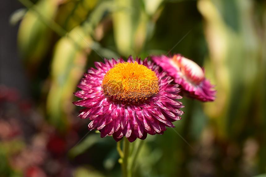 紫色的菊花摄影图片素材免费下载_花草树木图库壁纸