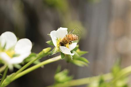 蜜蜂采花图片