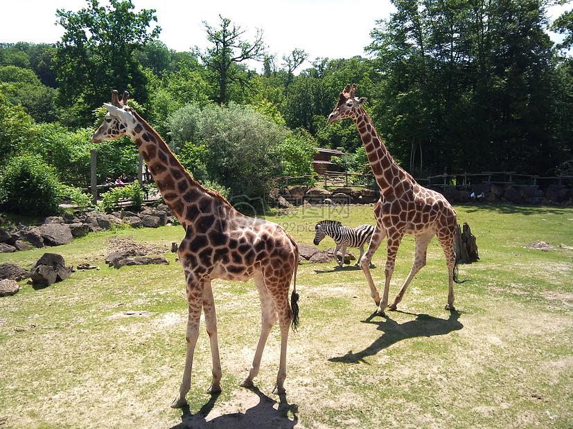 动物园里的长颈鹿