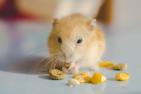 仓鼠胖三和胖丁的午餐图片