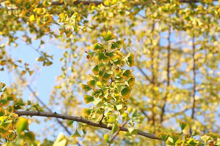 银杏叶 - 泛黄的秋色图片