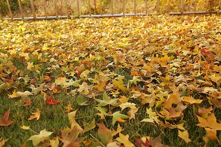 枫叶 - 泛黄的枫树叶子图片