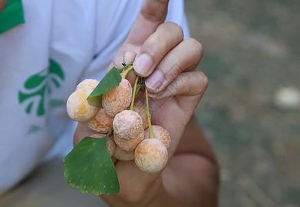 银杏果 - 饱满的银杏果图片