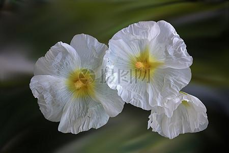 蜀葵花图片