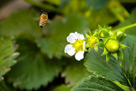 蜜蜂和草莓花图片