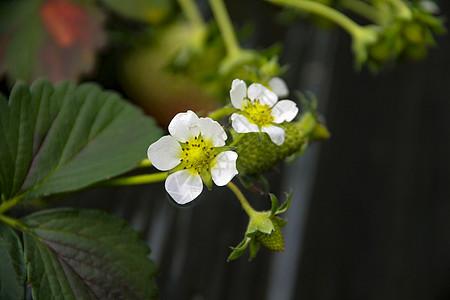 两朵草莓花图片