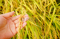 金稻穗图片