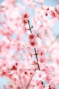 春天粉红色桃花盛开图片