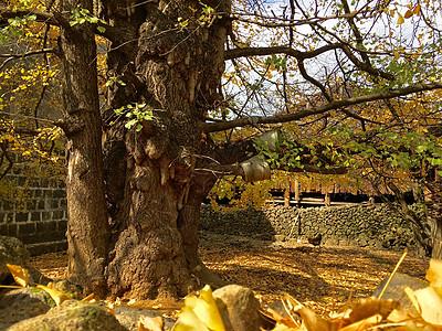 四月银杏村图片