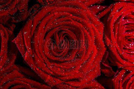 盛开的玫瑰高清图片