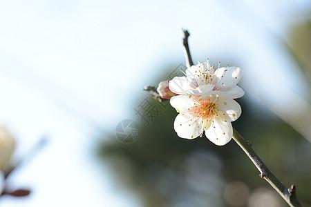 红梅花儿开图片