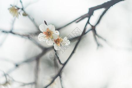 古猗园梅花图片