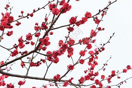 春天花草树木红色梅花在白色背景上图片