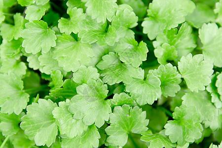 春天清新草木绿三叶草图片