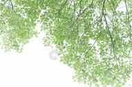 清新自然树叶树枝背景图片