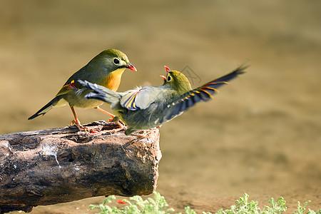 恩恩爱爱的相思鸟图片