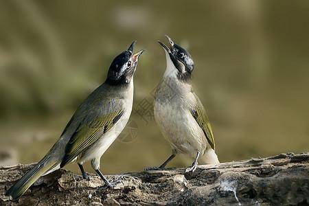 两只鸟在唱歌图片