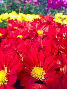 深红色菊花图片