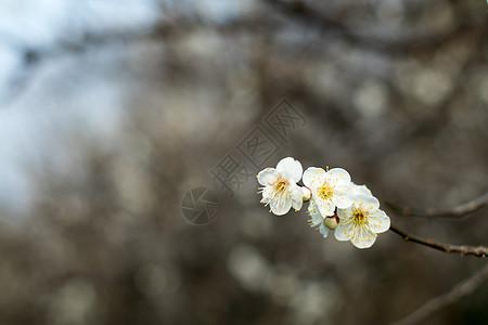 初春绽放的梅花图片