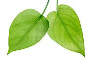 纹理清晰的绿叶图片