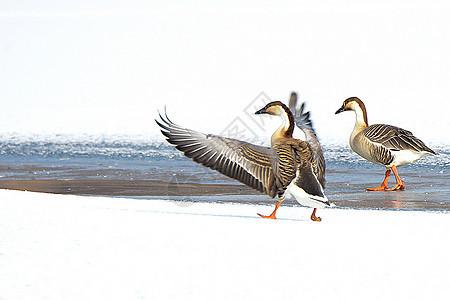 春暖河开鸿雁来图片