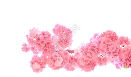春天樱花开花了图片