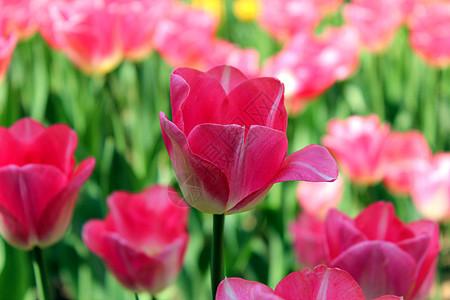 西湖太子湾公园郁金香图片