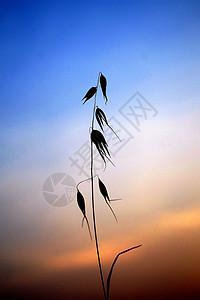 黄昏里的燕麦图片