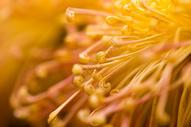 菊花500261288图片
