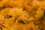 菊花500261289图片