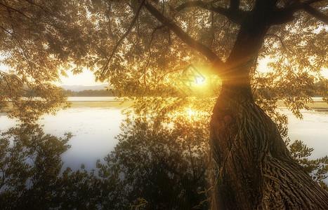 西湖畔太阳下的老树图片