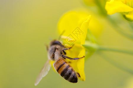 采花蜜的蜜蜂图片