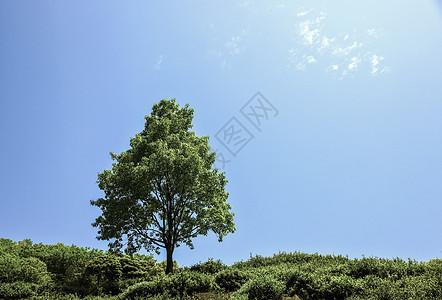蓝天白云下的树图片