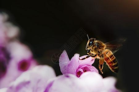 蜜蜂和桃花图片