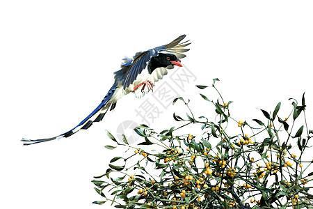 红嘴蓝鹊图片