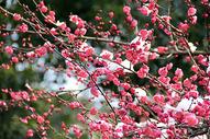杭州植物园灵峰探梅图片