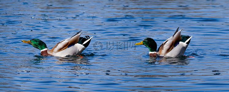 绿头鸭图片