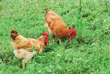 鸡高清图片