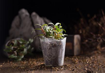 铁皮石斛 幼苗 产品拍摄图片