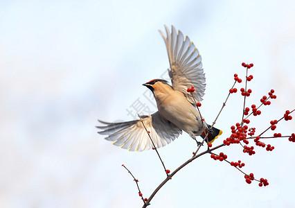 太平鸟图片