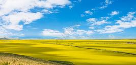 油菜花和青海湖图片