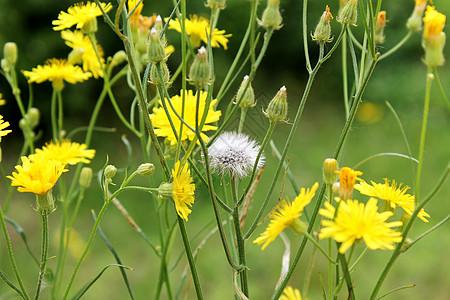 黄色的小花图片