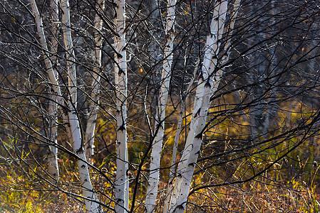 桦树的美图片