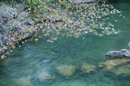 太子湾樱花图片