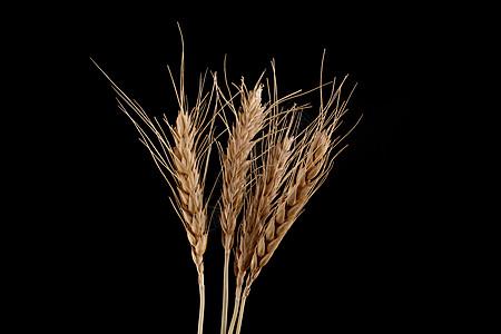 一些麦穗图片