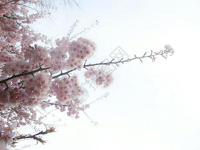 三月樱花香图片